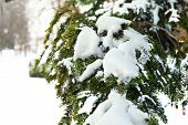 Branches of spruce covered with snow in winter time
