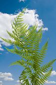 Fern On Blue Sky