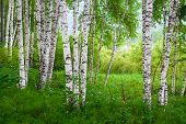 stock photo of birchwood  - Beautiful birch grove on the banks of the river in the Russian Siberia - JPG