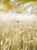 golden harvest close up on field
