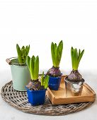 Hyacinths To Accelerate Flowering