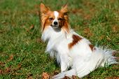 picture of chihuahua  - The Chihuahua  is the smallest breed of dog and is named for the state of Chihuahua in Mexico - JPG