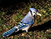 image of blue jay  - A blue jay standing on grass with a peanut - JPG