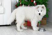 Pretty Samoyed dog with metal bowl in room with Christmas tree on background
