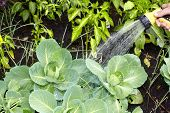 stock photo of water cabbage  - Hand of man with hose watering vegetables garden - JPG