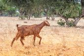 Morrocan goats in the field