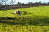 Grazing Horse In A Farm