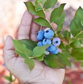 Blueberries in the man's hands. Green shrubs on the background.