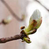 Leaf Bud. Young Leaves. Spring. Macro.