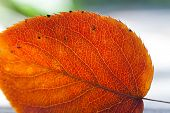 Autumn Leaf In The Sunlight