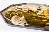 stock photo of trap  - Rat trap glue trap on a tray - JPG
