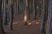 pic of redwood forest  - Forest of pine trees along tuscany coast - JPG