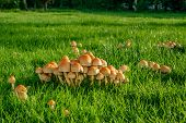 image of shroom  - Mushrooms on a green lawn at autumn - JPG
