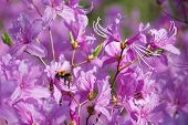 Purple rhododendron with an insect