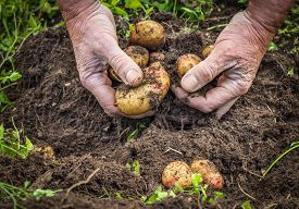 stock photo of potato-field  - Male hands harvesting fresh organic potatoes from soil - JPG