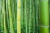 stock photo of bamboo forest  - high and impenetrable bamboo forest pandas primary food - JPG