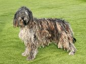 image of shepherds  - The portrait of Bergamasco Shepherd dog in the garden - JPG