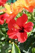 stock photo of hibiscus flower  - close up of beautiful hibiscus in summer garden - JPG