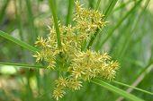 pic of monocots  - Cyperus flower - JPG
