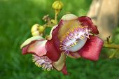 foto of cannonball  - Cannonball tree flower - JPG