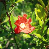 picture of pomegranate  - Red Pomegranate flower  - JPG