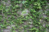 image of climber plant  - ancient limestone wall covered with climber plants - JPG