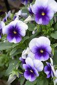 picture of viola  - A cluster of small blooming cold hardy viola in a garden.