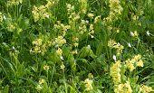 stock photo of cowslip  - Yellow primrose flowers in green grass full frame - JPG