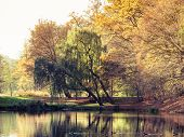 picture of weeping willow tree  - Autumnal landscape - JPG