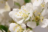stock photo of monocots  - A branch with lots of white flowers close - JPG