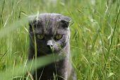 image of scottish-fold  - Gray Scottish fold kitten  on the green meadow - JPG