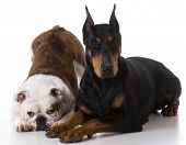 pic of doberman pinscher  - two dogs  - JPG