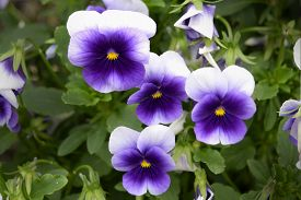 picture of viola  - A cluster of small blooming cold hardy viola in a garden - JPG