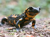 fire salamander to go hunt