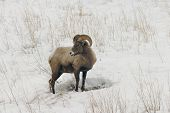 Big Horn In Snow