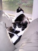 2 Gatos de blanco y negro durmiendo en el sol juntos