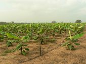 Scene Of A Banana Cultivation
