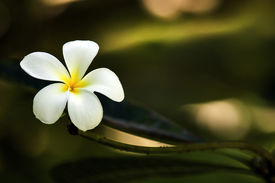 picture of single flower  - single frangiapani flower - JPG