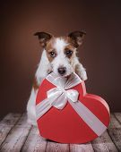 Cute Jack Russell Terrier. Valentines Day. poster