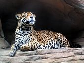 Smiling Jaguar