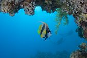 Red Sea Bannerfish Under An Overhang