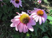 Cono de flores o especies de equinácea mostrando beuatiful color