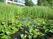 Lilly Pads and Cattails of restored wetland against office building background