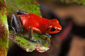 red frog from Costa Rica or panama poison dart frog on leaf in central American rain forest. . Beaut
