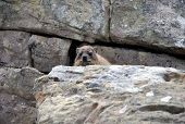Rock hyrax (dassie)