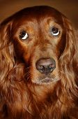Doggy Irish Setter Looking Up Sory