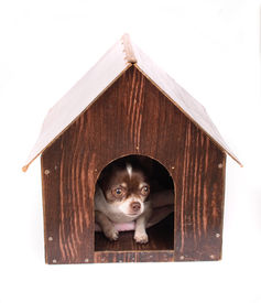 picture of dog-house  - chihuahua and her house on the white background  - JPG