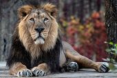 Asiatic Lion (panthera Leo Persica). A Critically Endangered Species. poster