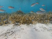 Brown Chromis Over Critically Endangered Staghorn Coral poster
