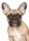 French Bulldog Puppy Close-up Portrait